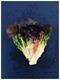 高光譜成像與葉綠素熒光成像技術在生菜和玉米無損檢測中的應用