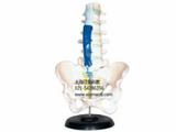 腰骶椎解剖与脊神经关系模型