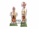 透明半身躯干附内脏模型