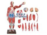 人体全身肌肉解剖模型170CM