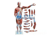 人体全身肌肉解剖模型78CM
