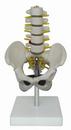 小型盆骨带五节腰椎模型