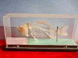 鱼骨骼标本