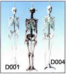 女性全身骨骼模型