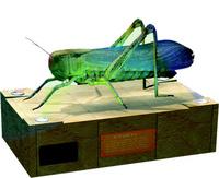 节肢动物(蝗虫)