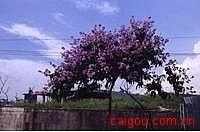 大花紫薇叶提取物