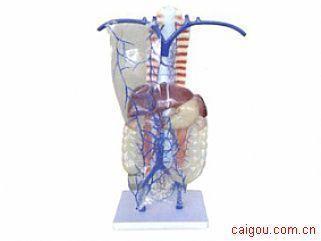 门静脉及侧支循环模型