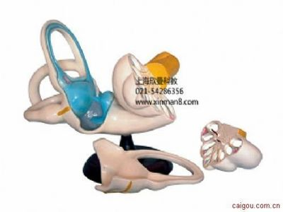 内耳解剖放大模型