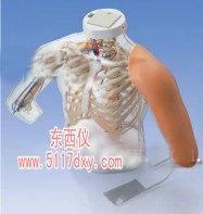 合二为一的上臂肌肉注射模型(德国3B)