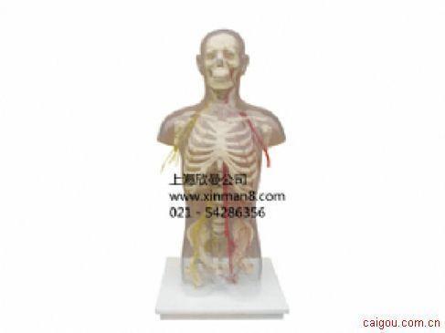 男性躯干骨附主要动脉和神经分布