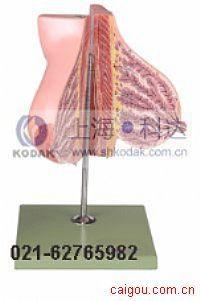 哺乳期女性乳房模型