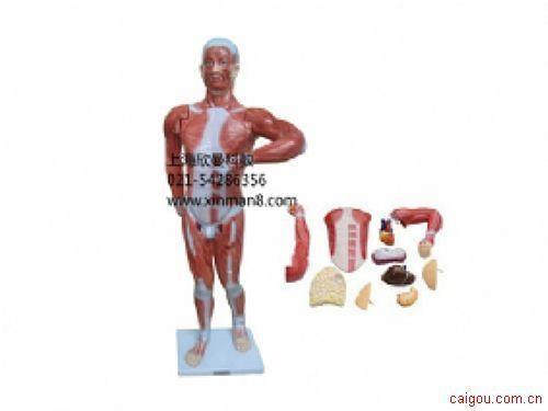 人体肌肉带内脏模型