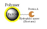 蛋白A磁珠|Protein A磁珠|Protein A magnetic bead|免疫沉淀|抗體純化