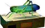 節肢動物(蝗蟲)