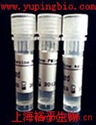 抗磷酸化原癌基因c-raf抗体