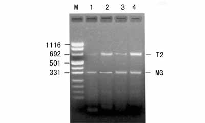 美国ATCC B16BL6 小鼠黑色素瘤细胞株