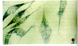 美国Sciencell EC猪主动脉血管内皮细胞株