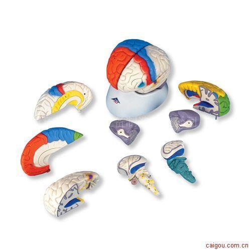 神经解剖脑模型,8部分