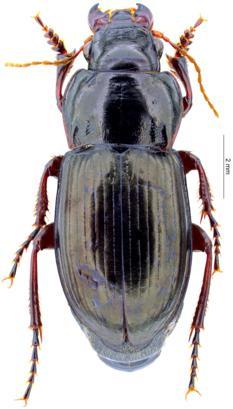 徕卡显微镜揭示高山地区地面甲虫的环境适应发展史
